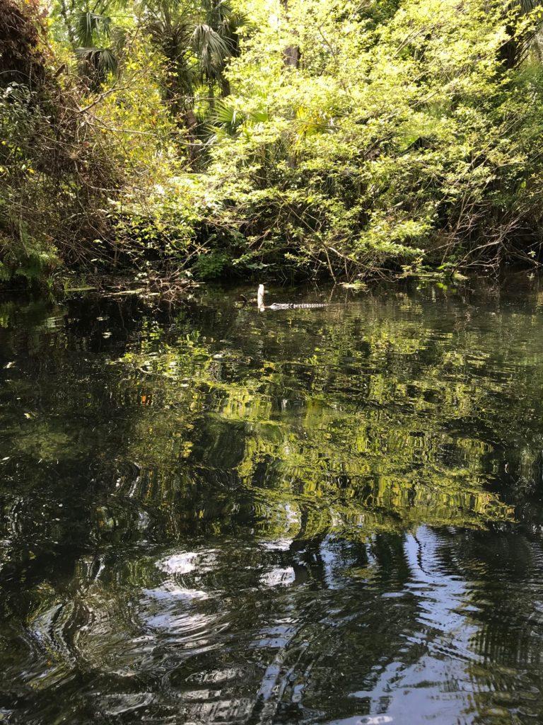 Aligator sighting at AVT picnic
